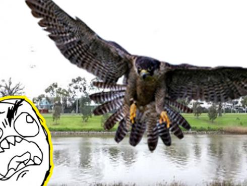 Este halcón le jugó mala pasada a familia que realizaba parrillada [VIDEO]