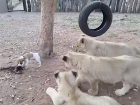 Perro se enfrentó a tres leones y los hizo retroceder [VIDEO]