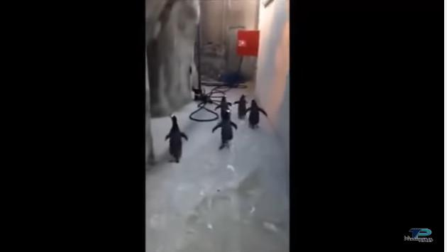¡Mira el intento fallido de estos pingüinos por escapar de un zoológico!