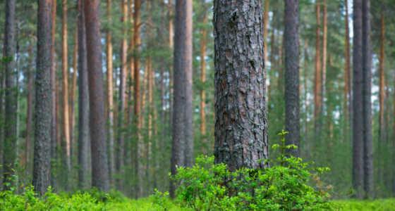 El pino más fuerte...