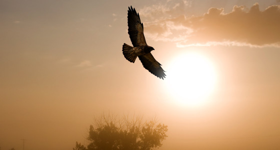 El halcón